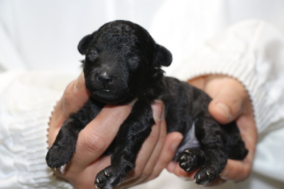 トイプードルシルバーオスの子犬、生後10日画像