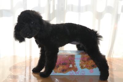 トイプードルブラック(黒色)の子犬メス、生後4ヵ月画像
