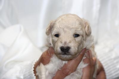 トイプードルホワイト(白色)オスシルバーオスの子犬、生後2週間画像