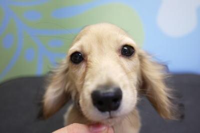 トイプードルブリーダーの子犬,ミニチュアダックス,トリミング画像