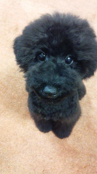 トイプードルブラック(黒色)の子犬オス、生後5ヶ月画像