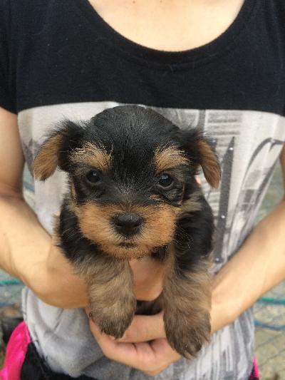 ヨークシャテリアの子犬オス、生後1ヵ月