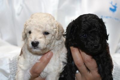 トイプードルホワイト(白色)オスブラック(黒色)オスの子犬、生後3週間画像