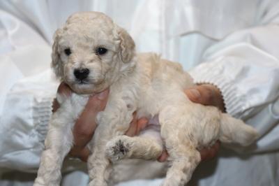 トイプードルホワイト(白色)の子犬オス、生後3週間画像
