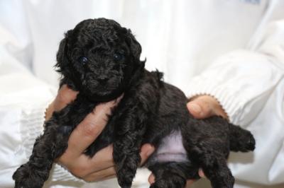 トイプードルブラック(黒色)の子犬オス、生後3週間画