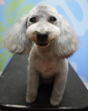 トイプードルシルバー成犬メス画像