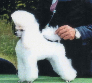 トイプードルホワイト(白色)JKCチャンピオンオス画像