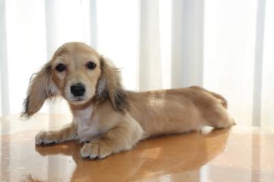 ミニチュアダックスシェイデッドクリームの子犬メス、生後5ヶ月画像