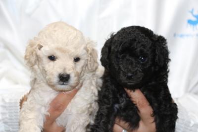 トイプードルホワイト(白色)オスブラック(黒色)オスの子犬、生後4週間画像