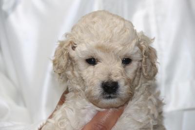 トイプードルホワイト(白色)オスの子犬、生後4週間画像
