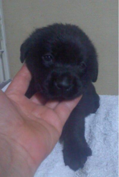 ラブラドールブラック(黒ラブ)の子犬メス、生後1ヵ月画像