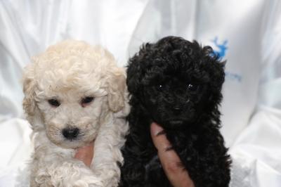 トイプードルホワイト(白色)オスブラック(黒色)オスの子犬、生後5週間画像