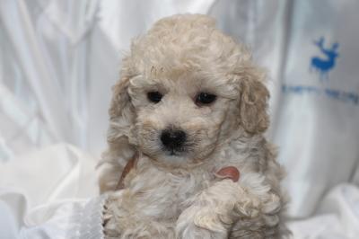トイプードルホワイト(白色)の子犬、生後5週間画像