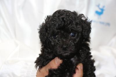 トイプードルブラック(黒色)オスの子犬、生後5週間画像