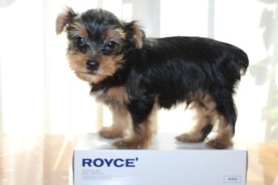 ヨークシャテリアの子犬オス、生後8週間画像