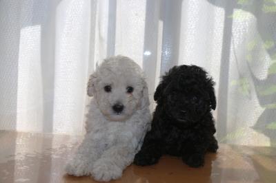 トイプードルホワイト(白色)オスブラック(黒色)オスの子犬、生後6週間画像