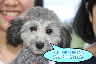 兵庫県神戸市、トイプードルシルバーの子犬オス画像