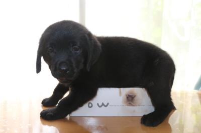 ラブラドールブラック(黒ラブ)の子犬メス、生後50日画像