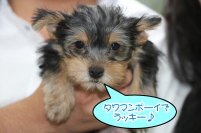 ヨークシャテリアの子犬オス、生後2ヶ月画像