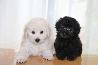 トイプードルホワイト(白色)オス、シルバーオスの子犬、生後7週間画像