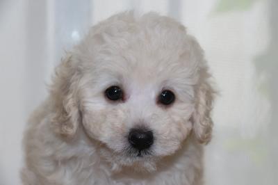 トイプードルホワイト(白色)オスの子犬、生後7週間画像