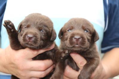 ラブラドールチョコ(チョコラブ)の子犬オスメス、生後3週間画像
