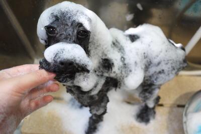 トイプードルブリーダーの成犬、シャンプー画像
