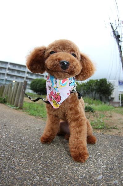 神奈川県横浜市、ティーカッププードルレッドメス画像