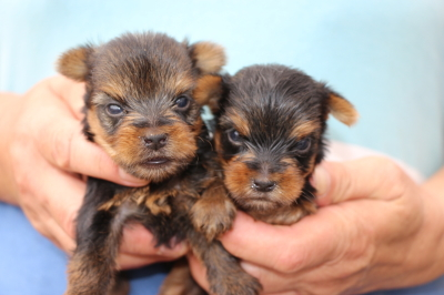 ヨークシャテリアの子犬オスメス、生後生後5週間画像