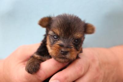 ヨークシャテリアの子犬オス、生後生後5週間画像