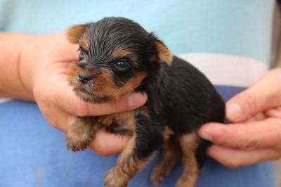 ヨークシャテリアの子犬メス、生後生後5週間画像
