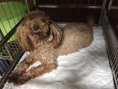 トイプードルレッド妊娠犬の写真