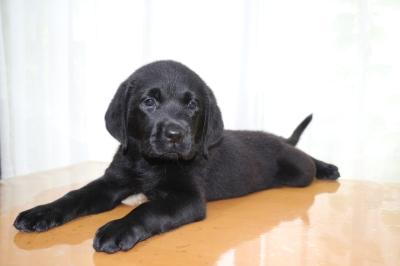 ラブラドールブラック(黒ラブ)の子犬メス、生後2ヵ月画像