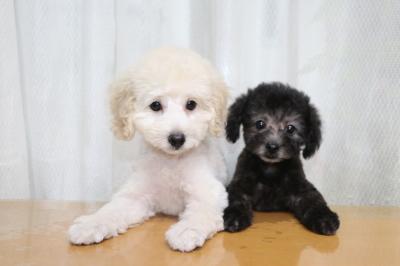 トイプードルホワイト(白)の子犬オスとティーカッププードルシルバーの子犬オス画像