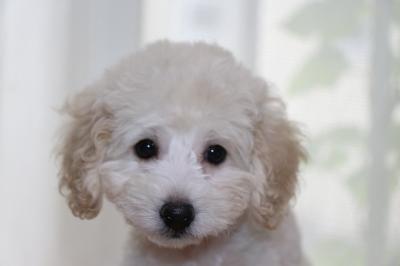 トイプードルホワイト(白色)の子犬オス、生後2ヵ月画像