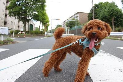 トイプードルペットホテルの様子、埼玉県川口市大吉君画像