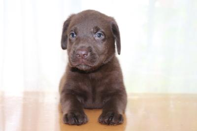 ラブラドールチョコ(チョコラブ)の子犬メス、生後6週間画像