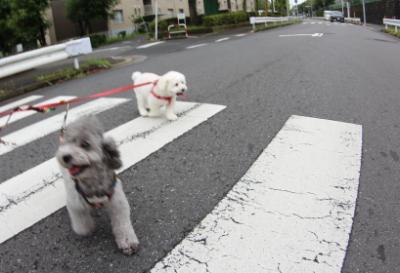 千葉県船橋市トイプードルペットホテルお預かりの様子画像