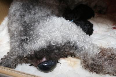 トイプードルシルバー出産の様子画像