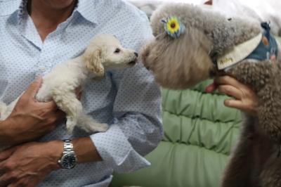 トイプードルホワイト(白色)とブラウンの多頭飼い画像