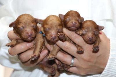 トイプードルレッドアプリコットの子犬オス2頭メス2頭、生後1週間画像