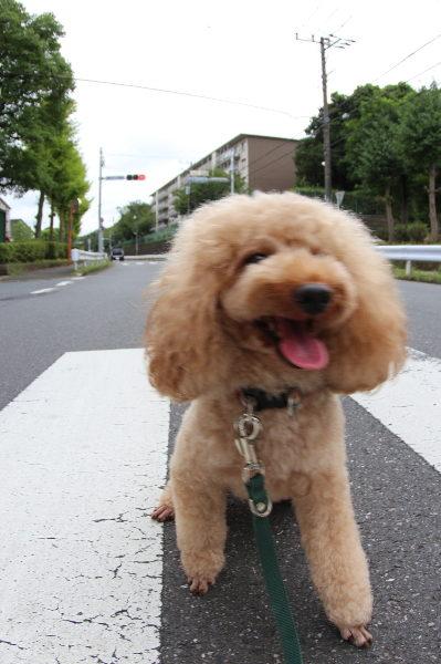 千葉県市川市トイプードルペットホテルお預かりの様子画像
