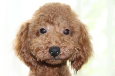 トイプードルレッドの子犬オス、生後7か月画像