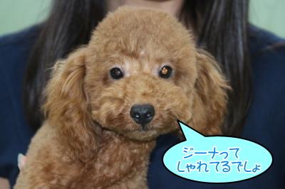 千葉県船橋市トイプードルレッドの子犬オス、生後7か月画像