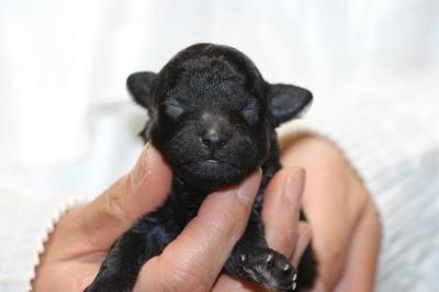 トイプードルシルバーの子犬メス、生後1週間画像