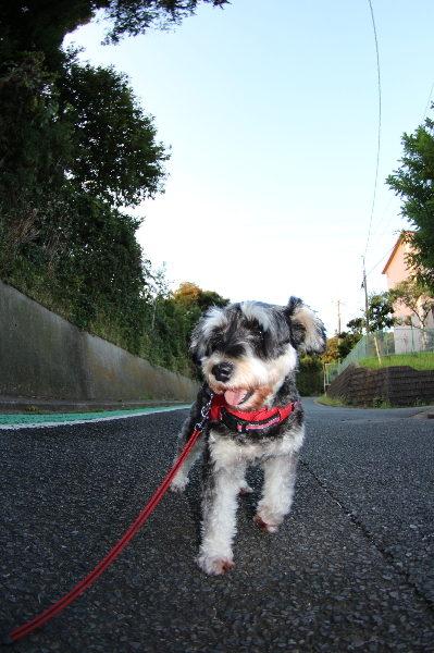 千葉県鎌ヶ谷市ミニチュアシュナウザーペットホテルお預かりの様子画像