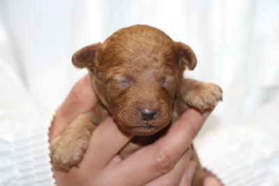トイプードルレッドアプリコットの子犬オス、生後2週間画像