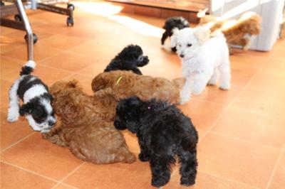 トイプードルはブリーダーを千葉で行う【A HAPPY DOG LIFE】で探せる~子犬の時期から一緒に過ごそう~