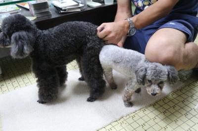 トイプードルの交配は【A HAPPY DOG LIFE】で~子犬の飼い主も募集中~