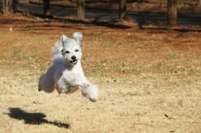 トイプードルを販売する【A HAPPY DOG LIFE】は千葉に店舗あり~ペット保険のご紹介も可能~